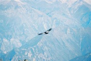 Giant condor above Colca Valley