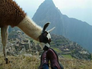 Glue-sniffing llama at Machu Picchu (photo by Michael Gale)